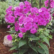 Флокс Flame Purple фото