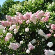 Гортензія Pink Lady фото