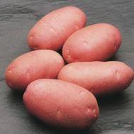 Картопля Asterix фото