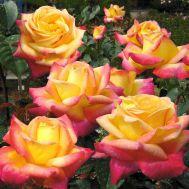 Троянда Pulman Orient Express фото