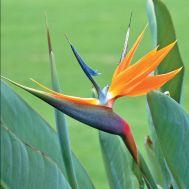 Стреліція Райська птиця фото