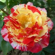 Троянда Camille Pissarro фото