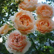 Троянда Polka фото