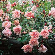 Троянда Albertine (плетиста) фото