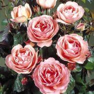 Троянда Amelia Renaissance фото