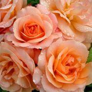 Троянда Aprikola фото