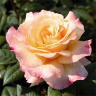 Троянда Aquarell фото