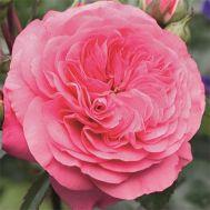 Троянда Baroness фото