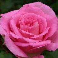Троянда Beverly фото