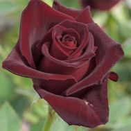 Троянда Black Baccara фото