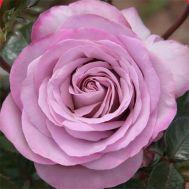 Троянда Blue Girl фото