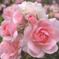 Троянда Bonica фото