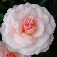 Троянда Bremer Stadtmusikanten фото