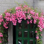 Троянда Chaplin's Pink фото