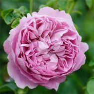 Троянда Charles Rennie Mackintosh фото