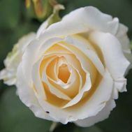 Троянда Chopin фото