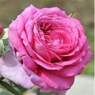 Троянда Claire Marshall фото