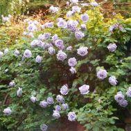 Троянда Climbing Blue Moon фото