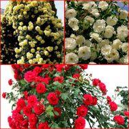 Троянда Мікс Плетиста фото
