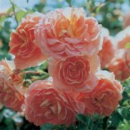 Троянда Concerto фото