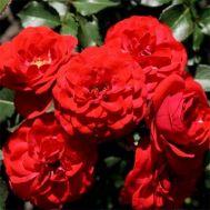 Троянда Cordula фото