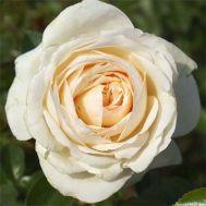 Троянда Cream Abundance фото