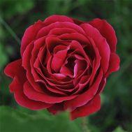 Троянда Dame de Coeur фото