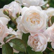 Троянда Desdemona фото