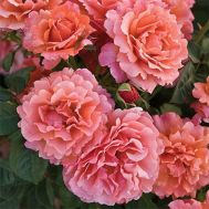 Троянда Easy Does It фото