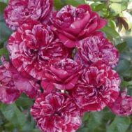 Троянда Easy Fashion фото