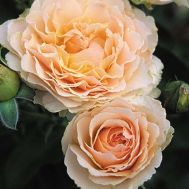 Троянда Excalibur фото
