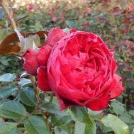 Троянда Florentina фото