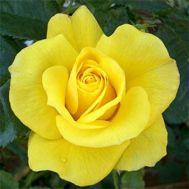 Троянда Friesia фото