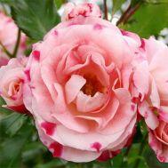 Троянда Rosenstadt Freising фото
