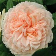 Троянда Garden of Roses фото