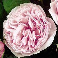 Троянда Gartenträume фото