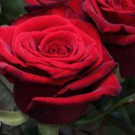 Троянда Grand Prix фото