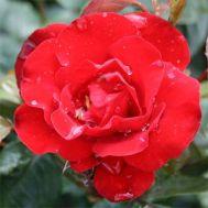 Троянда Gruss an Bayern фото