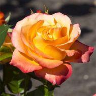Троянда Ibiza фото