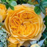 Троянда Inka фото