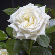 Троянда Isle of White фото