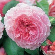 Троянда James Galway (плетиста) фото