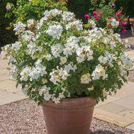 Троянда Kew Gardens фото