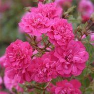 Троянда Knirps фото