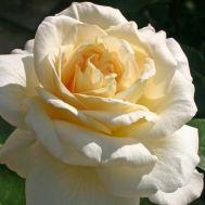 Троянда La Perla фото