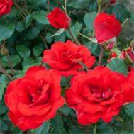 Троянда La Sevillana фото