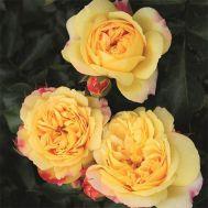 Троянда Lampion фото