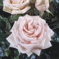 Троянда Majestic фото