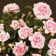 Троянда Mama Mia фото