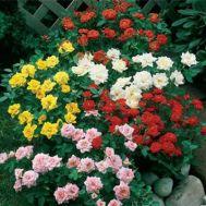 Троянда Мікс фото